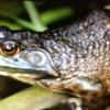 Bullfrog Call at Spirit Lake – Minnesota, USA