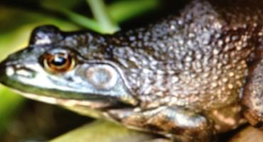 Bullfrog Call at Spirit Lake - Minnesota, USA