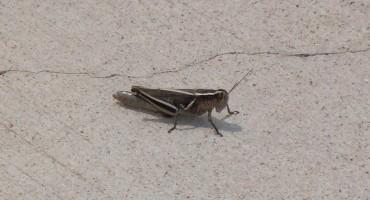 Grasshoppers - Colorado, USA