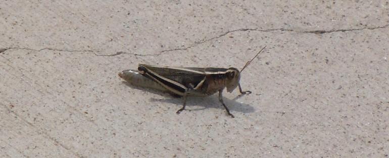 Grasshoppers – Colorado, USA