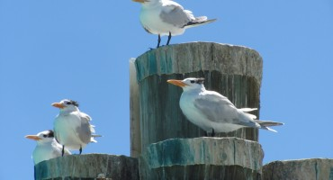 Royal Terns - Dry Tortugas National Park, USA
