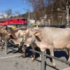 Cattle Market - Llanz, Switzerland