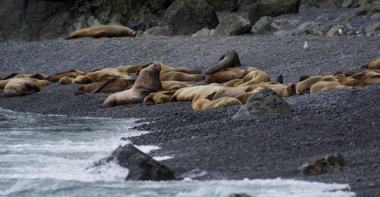 Sea Lion Rookery – Agattu Island, USA