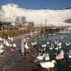 Ducks at Pamukkale – Hierapolis, Turkey