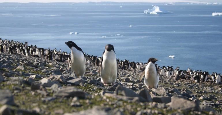 Gentoo Penguin Colony – Yankee Harbour, Antarctica