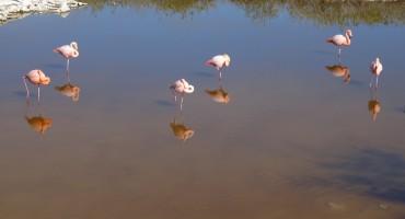 Flamingo Call – Galápagos Islands, Ecuador