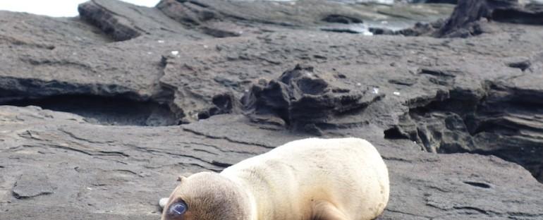 Fur Seal Pup – Galápagos Islands, Ecuador