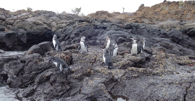 Galápagos Penguins – Galápagos Islands, Ecuador