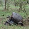 Galápagos Tortoise Mating - Galápagos Islands, Ecuador