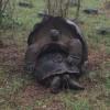 Galápagos Tortoise Mating - Galápagos Islands, Ecuador2