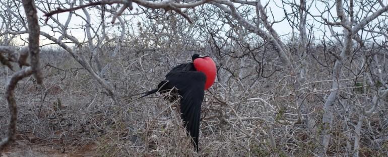 Magnificent Frigatebirds – Galápagos Islands, Ecuador