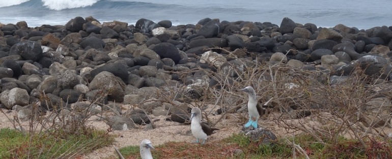 Ocean and Blue-Footed Boobies – Galápagos Islands, Ecuador