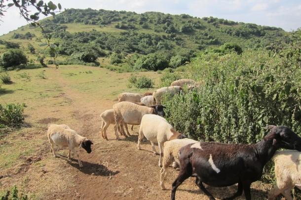 Grazing Animals at Ngong Hills – Nairobi, Kenya