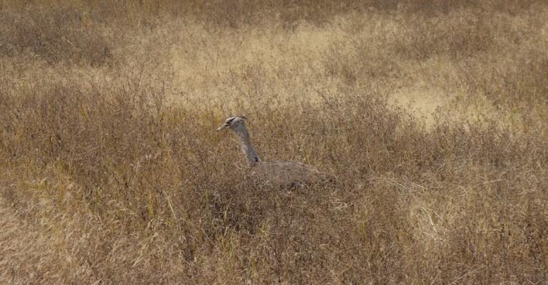 Kori Bustard – Ngorongoro Conservation Area, Tanzania