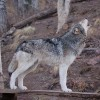 Wolf Sanctuary – Colorado, USA