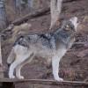 Wolf Sanctuary – Colorado, USA