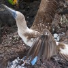 Blue-Footed Booby Fight – Galápagos Islands, Ecuador