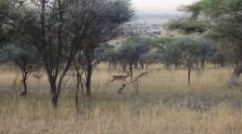 Impala at Dawn – Serengeti National Park, Tanzania