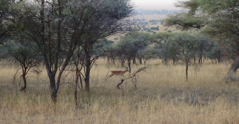 Impala at Dawn – Serengeti National Park, Tanzania