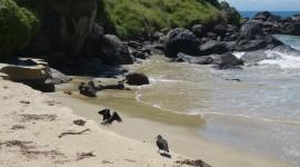 Variable Oystercatcher – Stewart Island, New Zealand