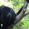 BELIZE8_Black Howler Monkeys - Belize