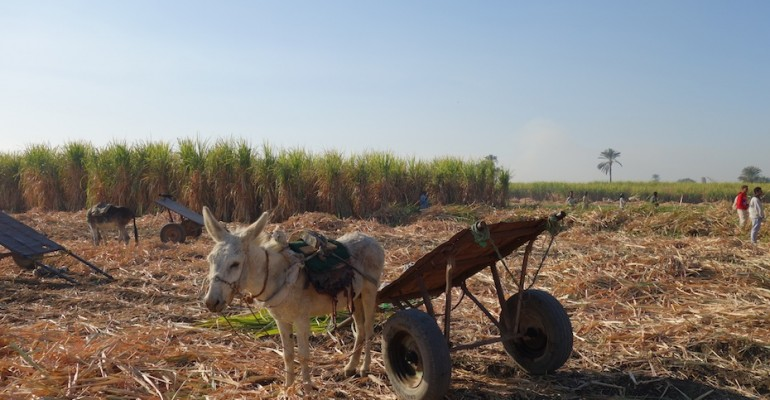 Sugar Cane Harvest – Luxor, Egypt