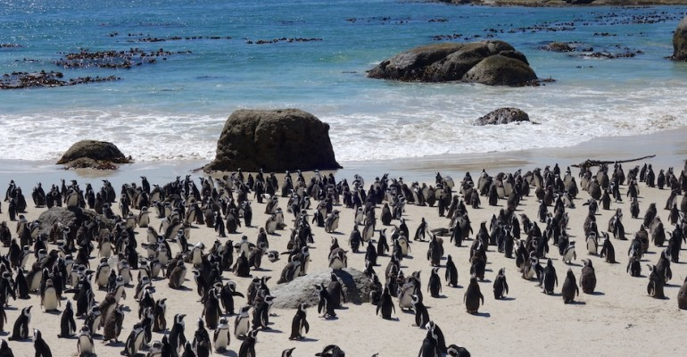 African Penguins – Boulders Beach, South Africa