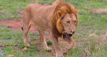Lion Call – Kruger National Park, South Africa