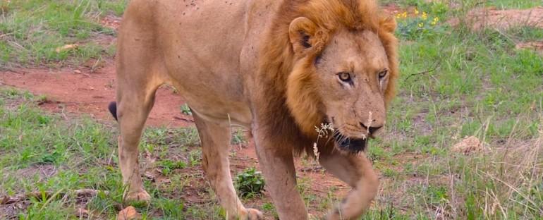 Lion Call – Kruger National Park, South Africa