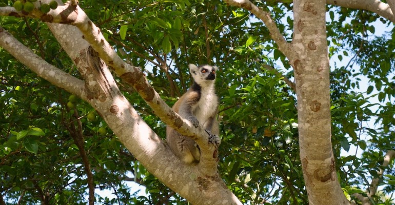 Ring-Tailed Lemurs – Anja Community Reserve, Madagascar
