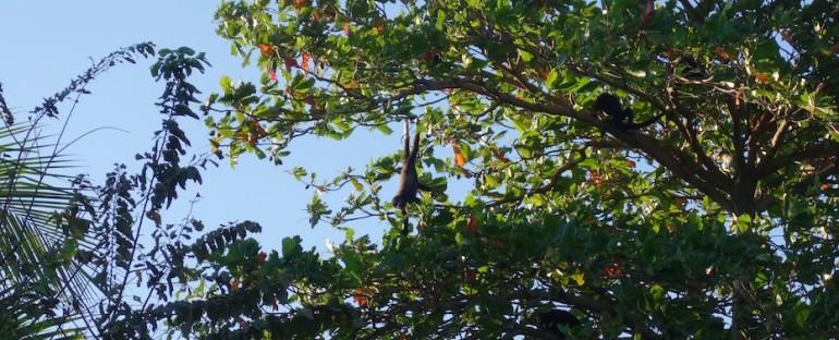 Beachside Howler Monkeys – Playa Junquillal, Costa Rica