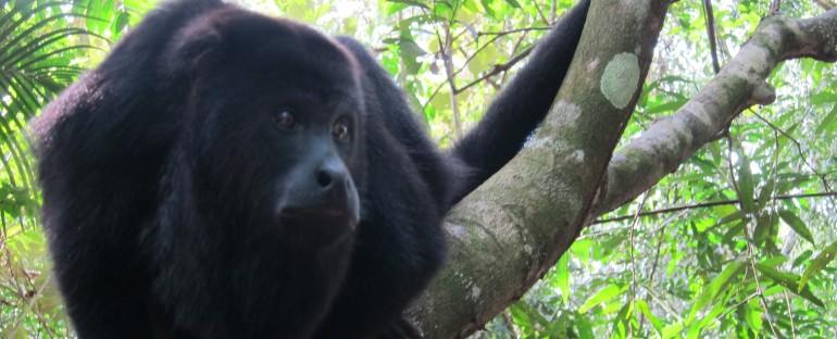 Black Howler Monkeys – Belize