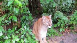 Carlos the Puma – Belize Zoo, Belize