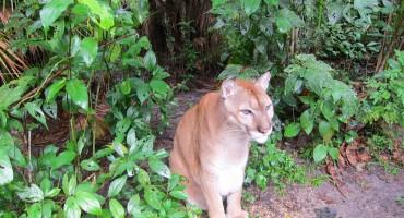 Carlos the Puma - Belize Zoo, Belize