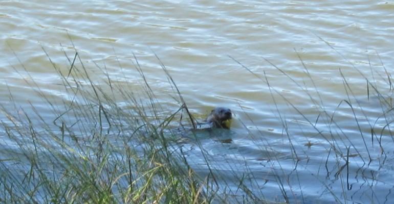 River Otter – Minnesota, USA
