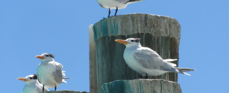 Royal Terns – Dry Tortugas National Park, USA
