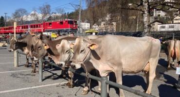 Cattle Market - Llanz, Switzerland