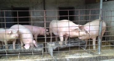 Pig Farm – Transylvania, Romania