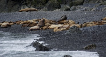 Sea Lion Rookery – Agattu Island, USA