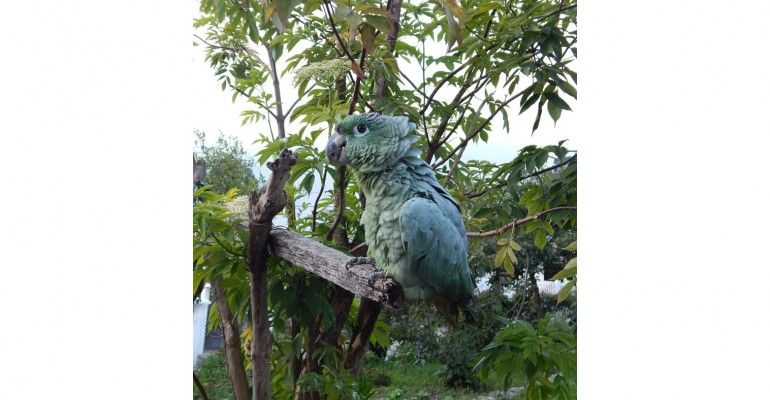 Paquita the Talking Parrot – Biblian, Ecuador