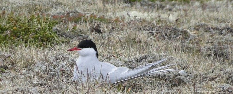 Arctic Terns – Búðir, Iceland