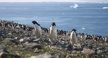 Gentoo Penguin Colony – Yankee Harbour, Antarctica