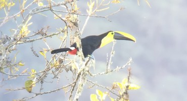 Choco Toucan – Mindo, Ecuador