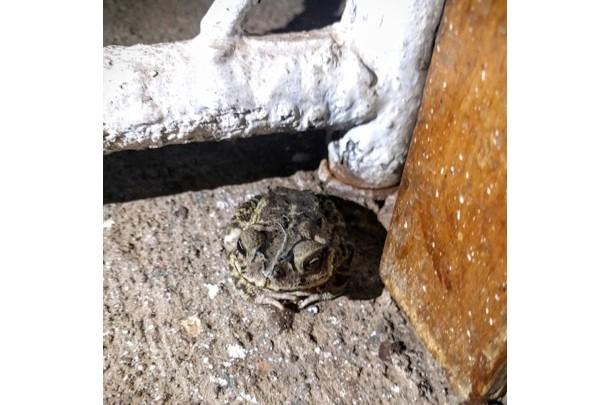 Frogs - Santa Teresa, Nicaragua