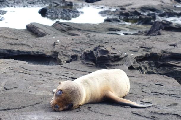 Fur Seal Pup - Galápagos Islands, Ecuador