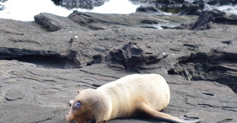 Fur Seal Pup – Galápagos Islands, Ecuador