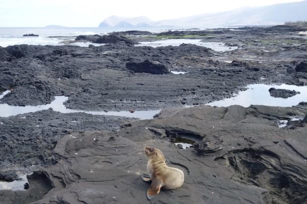 Fur Seal Pup - Galápagos Islands, Ecuador2