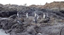 Galápagos Penguins – Galápagos Islands, Ecuador