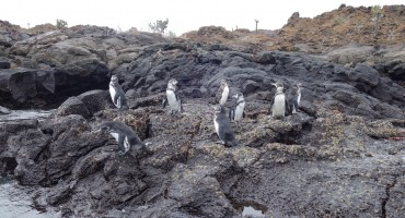 Galápagos Penguins - Galápagos Islands, Ecuador