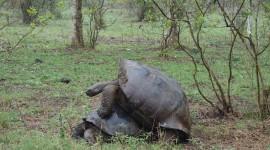 Galápagos Tortoise Mating – Galápagos Islands, Ecuador